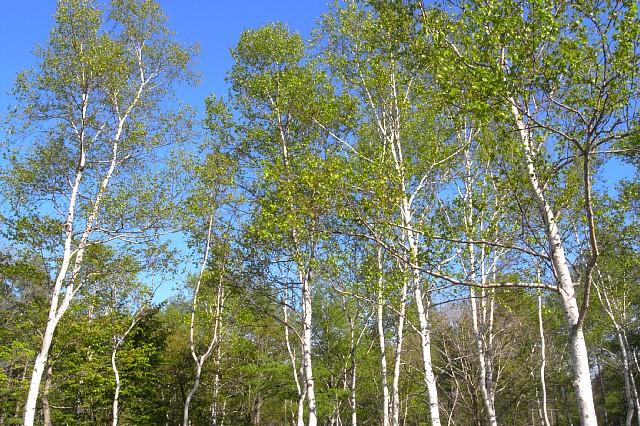 【アロマ】バーチ(樺の木)の効果効能と使い方【エッセンシャルオイル】