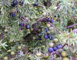 juniperberry